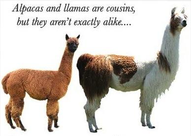 693044e9455659 about alpaca and alpaca investing, alpaca healthcare, alpacas on martha's  vineyard at island alpaca farm