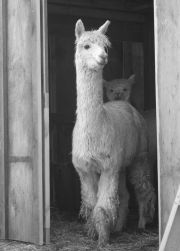 Award winning photograph, by Heather Welch, in the Massachusetts Agricultural Calendar 2009, and the National Alpaca's Magazine, Fall, 2008.