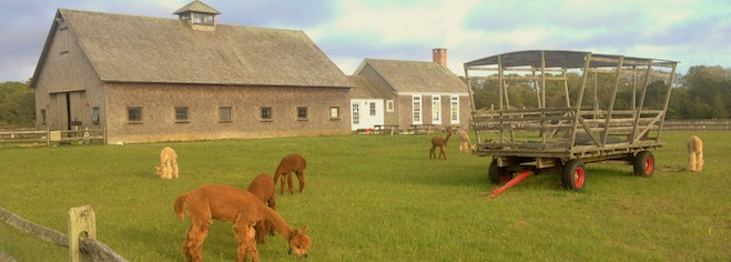 Contact Island Alpaca Company on Martha's Vineyard
