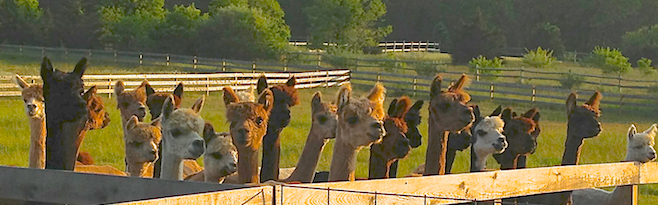 Alpaca for Sale investing in alpaca