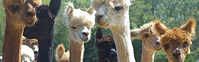 Island Alpaca Company on Martha's Vineyard